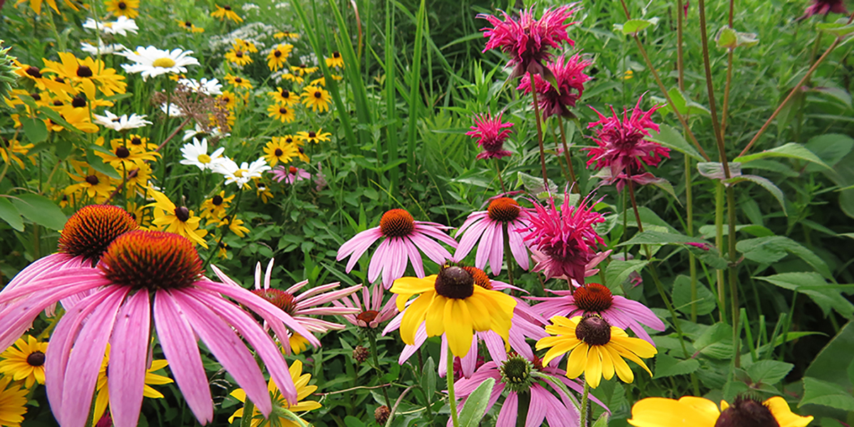 Purple coneflower in full bloom in rain garden